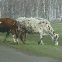 В 2017 году в Омской области будут активно развивать животноводство