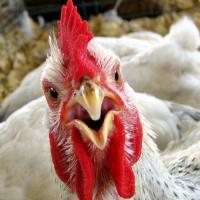 Яйца омских кур будут поставлять в Бурятию