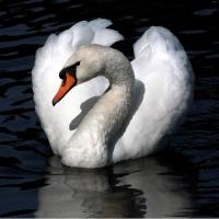 По пути на север Омск посетили 13 лебедей