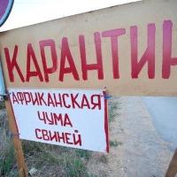 В четырех районах Омской области сняли карантин по чуме свиней