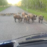 В Омской области кабаны с детенышами переходили трассу в неположенном месте
