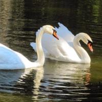 На озере под Омском заметили пару лебедей