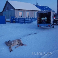 У дома охотника в Омской области нашли две разделанные туши косули