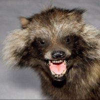 Омичи обсуждают енотовидную собаку, замеченную под Метромостом