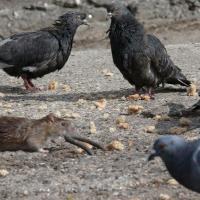 В Омске крысы объедают голубей