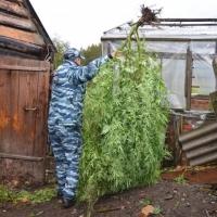 Омич выращивал 20 кустов наркосодержащего растения на даче