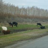 В сельхозорганизациях Омской области на 3600 коров стало меньше