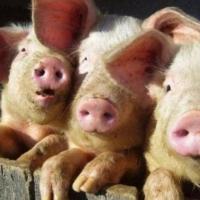 Один из свинокомплексов Омской области не имеет защиты от АЧС
