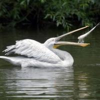 В Крутинском районе ждут кудрявых пеликанов и не дают рыбе погибнуть без кислорода