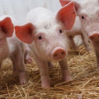 Чума свиней охватила и Любинский район Омской области