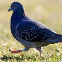 Омич пойдет под суд за убийство голубя