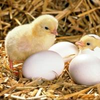 В Омской области растет производство продукции птицеводства