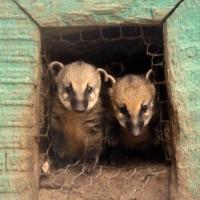 В Большереченском зоопарке у носух впервые родились малыши