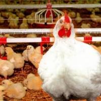 За полвека Омская область дошла до экспорта в птицеводстве