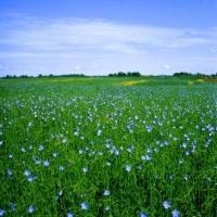Северные районы Омской области поддержат в льноводстве