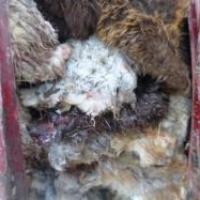 В Омскую область пытались провезти 100 незарегистрированных шкур овец