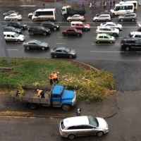 В центре Омске спилили довольно молодые березы