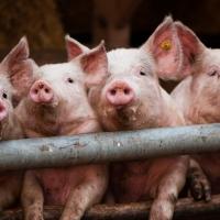 Еще в одной деревне Омской области обнаружили чуму свиней
