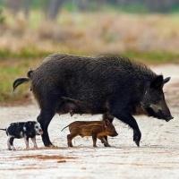 В Омске учат обращению с дикими кабанами после африканской чумы