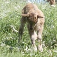 В Большеречеснком зоопарке винторогое пополнение