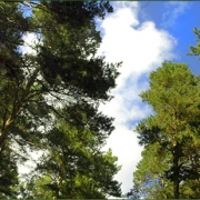 На омские леса выделят 70 миллионов