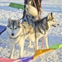 В Омской области пройдут гонки на ездовых собаках