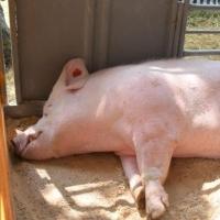 Вывоз свинины из Ачаира запрещен до 6 февраля 2018 года