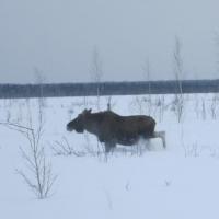 В Омской области проведен зимний маршрутный учет животных (фото)