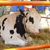 Правительство Омской области поддержит рублем увеличение количества коров