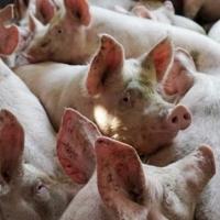 Сотрудников свинокомплекса в Омске продержат на работе еще две недели