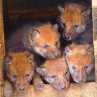 У серых волков Большереченского зоопарка родились рыжие волчата