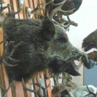 Омских охотников приглашают к жеребьевке   на добычу косули сибирской и кабана