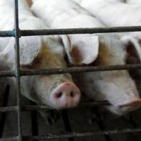 В Омской области обнаружены еще три очага чумы свиней