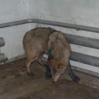 Большереченский зоопарк показал волчонка после оказанной ему помощи