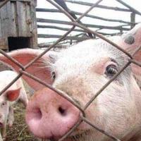 Чума свиней пробралась в омскую колонию