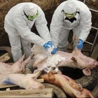 Число уничтоженных из-за чумы свиней в Омской области превысило 12 тысяч