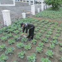 В колонии №8 заготавливают капусту на зиму