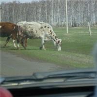 О возмещении ущерба, причиненного дорожно-транспортным происшествием с участием животного