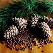 Омские бизнесмены заинтересовались кедровыми орехами