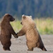 Надымских медвежат сплавят в Омск