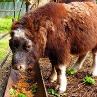 Овцебыку в Большереченском зоопарке дали магическое имя