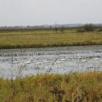 В Омской области лебеди-кликуны засобирались на зимовку