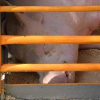Из Омска пытались вывезти более одной тонны свинины
