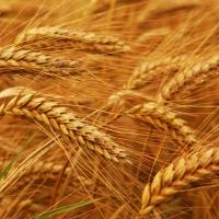 Июньские дожди спасли урожай зерна в Омской области