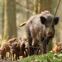 Министр сельского хозяйства Омской области пообещал уничтожить всех диких свиней региона