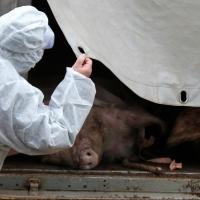 В Шербакульском районе Омской области продолжают выжигать свиней