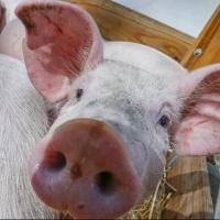 Омичка пыталась спрятать свиней от уничтожения из-за АЧС