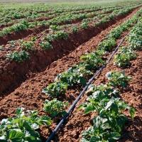 Омские аграрии особенно преуспели в выращивании зерна, картофеля и льна
