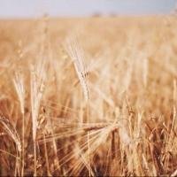 Первый миллион тонн зерна намолотили в Омской области