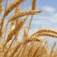 Омские хлеборобы выполнили треть плана